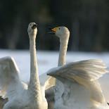 También el cisne cantor, ave nacional de Finlandia, se está multiplicando desde fines de los cincuenta.