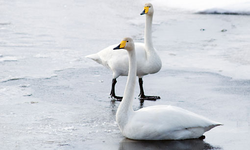 Finland's national bird, the whooper swan, owes its survival to nature conservationists. Its numbers have increased from just 15 pairs in the 1950s to more than 5,000 pairs today. These graceful swans are now a common sight on Finland's lakes again.