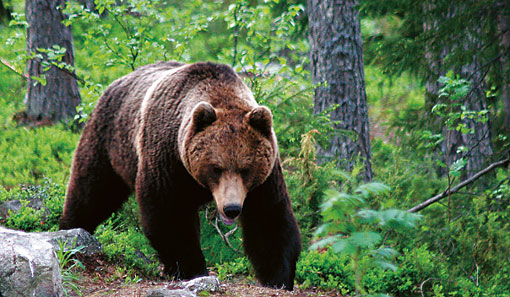 Bears roam throughout Finland, but are commonest in the country's eastern borderlands, where several local firms run bear-watching excursions.