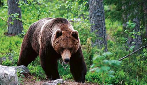 Les ours sont présents dans toute la Finlande ; mais c'est dans l'Est du pays qu'ils sont les plus nombreux. Dans cette région, une dizaine de petits entrepreneurs organisent des randonnées pour observer ce plantigrade.