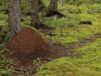 Impressive anthills are a common sight in Finland's vast coniferous forests.