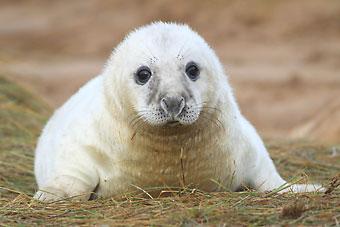 赛马湖环纹海豹属于世界上濒临灭绝的珍稀动物,总共只有310头。
