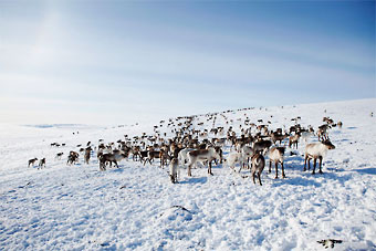 In Lapland all reindeer are domesticated, which means that all reindeer hunting is prohibited.