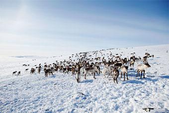 In In Lappland sind alle Rentiere domestiziert. Daher ist die Jagd auf sie verboten.