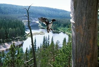 O rio Oulanka, em Kuusamo, percorre uma área de 135 km e é parte do canal do Rio Koutajoki que desemboca no Mar Branco