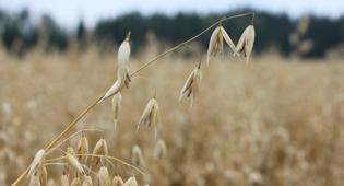 Из овса можно создать продукты, которые помогают при борьбе с избытком холестерина.