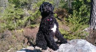 Собаки являются самыми любимыми домашними питомцами финнов. На фото: португальская водяная собака Пейкко.