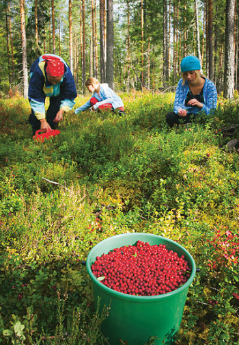 People squatting in the forest picking lingonberries.