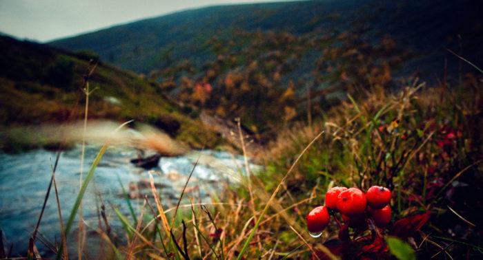 Морошка и клюква – ягоды северных болот. Клюква созревает в конце сентября.