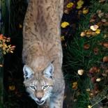 Lince eurasiático (Lynx lynx), foto: Jouko Lehmuskallio