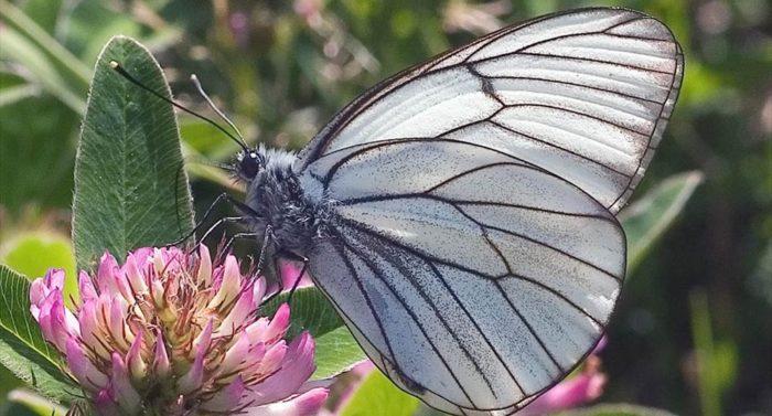 A borboleta Aporia crataegi (sem tradução oficial para o português) pousada em uma flor como se posasse para a fotografia.