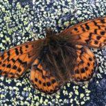 """A borboleta """"Mountain fritillary"""" (Boloria napaea, sem tradução oficial para o português),  foto: Per-Olof Wickman"""