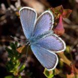 Borboleta azul do norte (Plebeius idas), foto: Per-Olof Wickman
