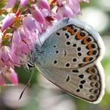 """A bela borboleta azul e prateada, chamada """"Silver-studded blue butterfly"""" (Plebeius argus, sem tradução oficial para o português), foto: Per-Olof Wickman"""
