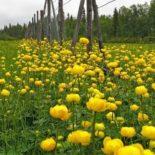 """A flor """"globeflower"""" (Trollius europaeus – sem tradução oficial para o português),  foto: Jouko Lehmuskallio"""
