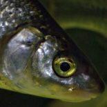 """O peixe Coregonus lavaretus, conhecido como """"whitefish""""sem tradução oficial para o  português, foto: Lauri Urho"""