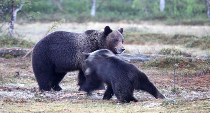 2921-bears_kainuu11-jpg