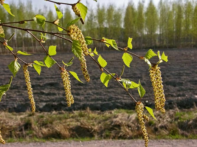 A close-up of silver birch leaves and catkins with a field in the background.