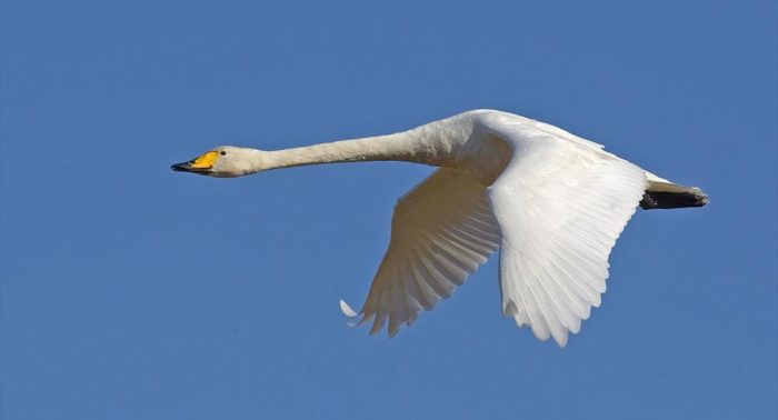 A whooper swan flying in a clear blue sky.