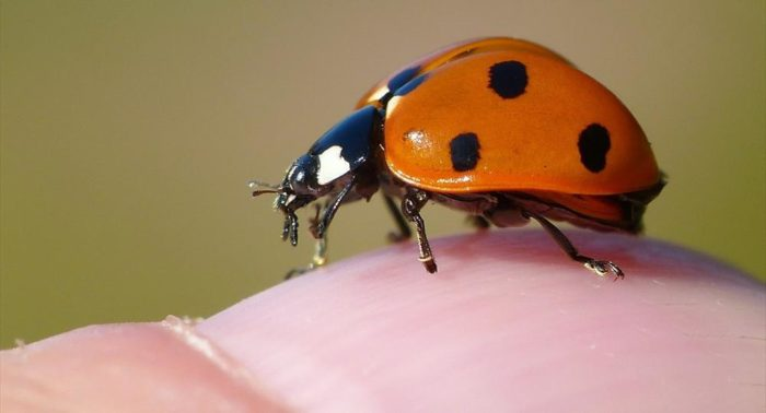 A close-up of a ladybug on a finger.
