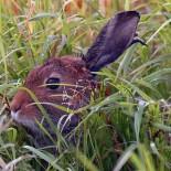 北极野兔,图:Jari Peltomäki