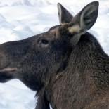 驼鹿,图:Jouko Lehmuskallio