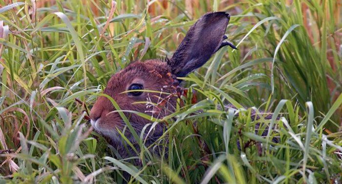 Arctic hare (Lepus timidus), photo: Jari Peltomäki