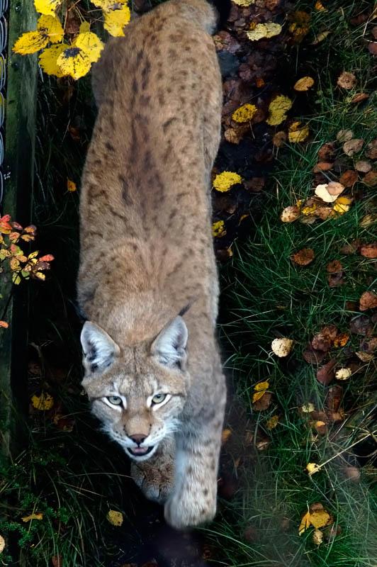 Eurasian lynx (Lynx lynx), photo: Jouko Lehmuskallio