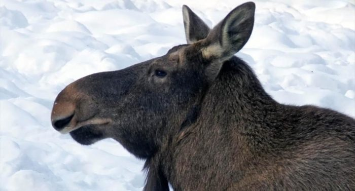 Moose (Alces alces), photo: Jouko Lehmuskallio