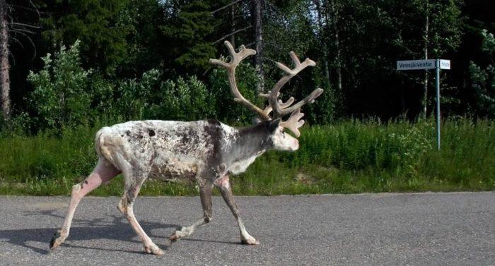 Reindeer (Rangifer tarandus), photo: Jouko Lehmuskallio