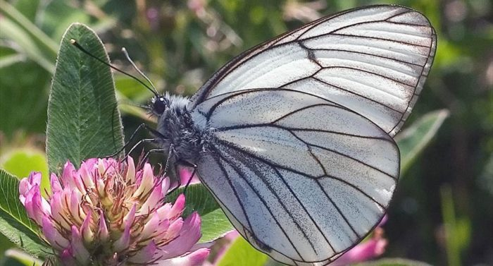 A black-veined white butterfly (Aporia crataegi) perches on a flower as if posing for the camera.