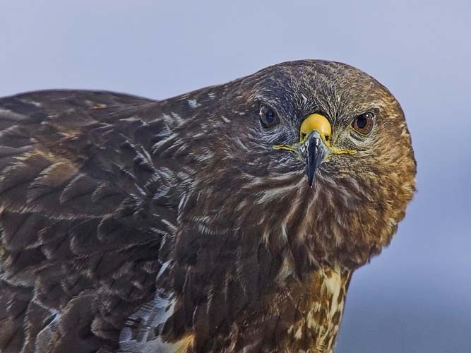 Buzzard (Buteo buteo), photo: Jari Peltomäki