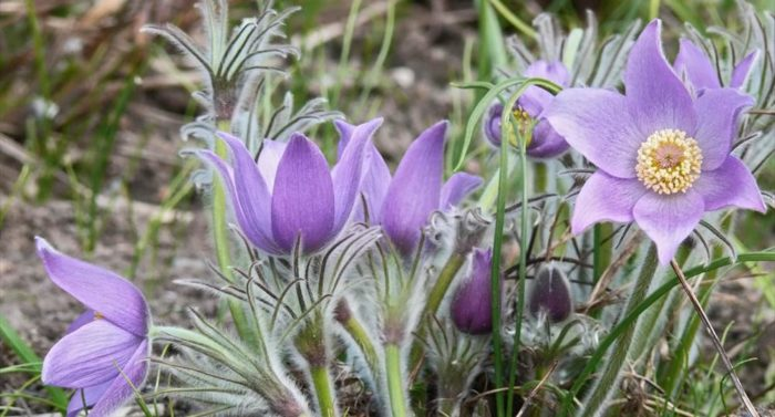 The Eastern pasque flower (Pulsatilla patens) is critically endangered and has protected status.