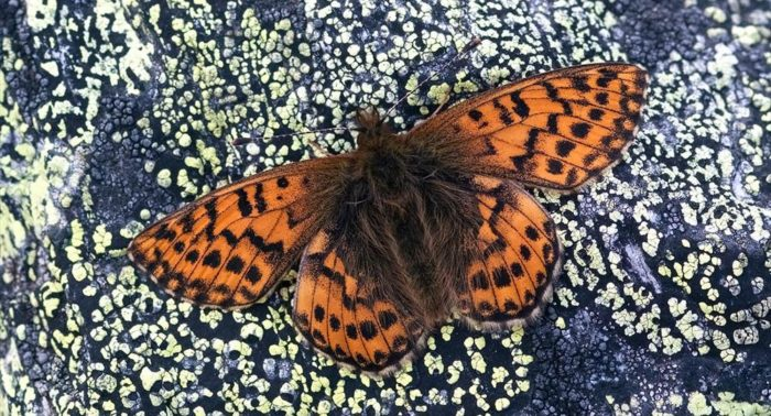 Mountain fritillary (Boloria napaea), photo: Per-Olof Wickman
