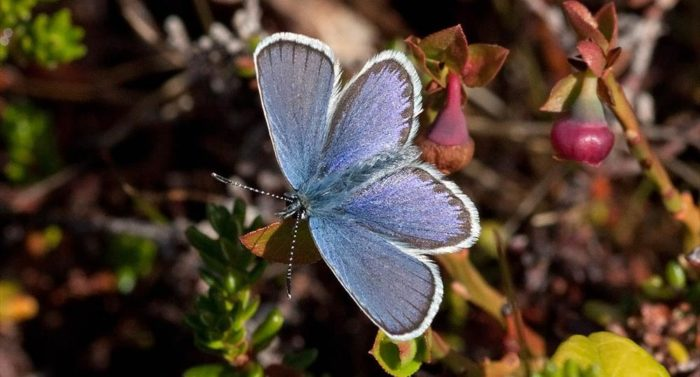 Northern blue butterfly (Plebeius idas), photo: Per-Olof Wickman