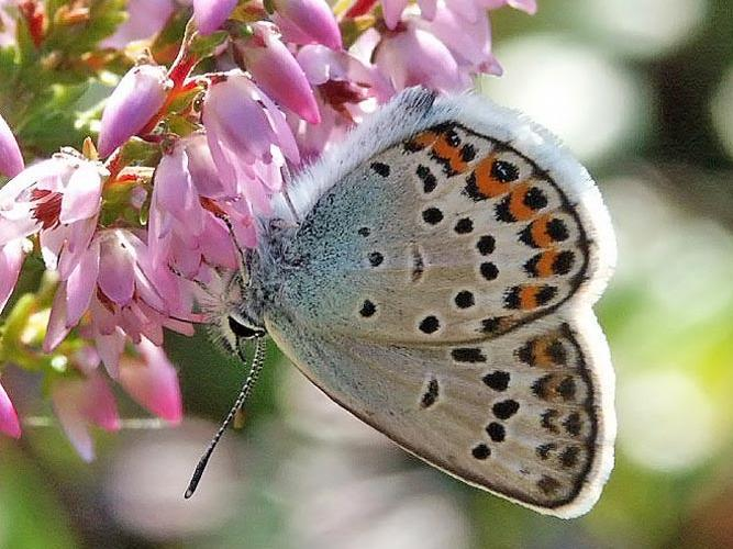 Silver-studded blue butterfly (Plebeius argus), photo: Per-Olof Wickman