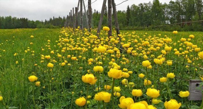 Globeflower (Trollius europaeus), photo: Jouko Lehmuskallio