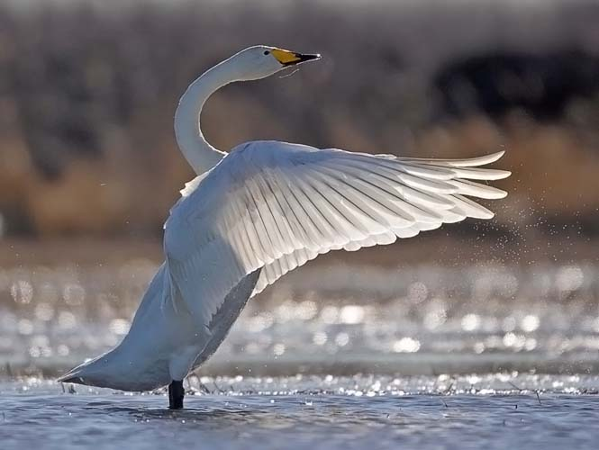 Whooper swan (Cygnus cygnus), photo: Jari Peltomäki