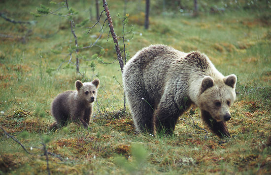 The number of Finland's large carnivores, bear (left picture), lynx, wolf and wolverine, has increased in recent years.