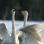 Finland's national bird, the whooper swan (right picture), has also become more widespread since the end of the 1950s.