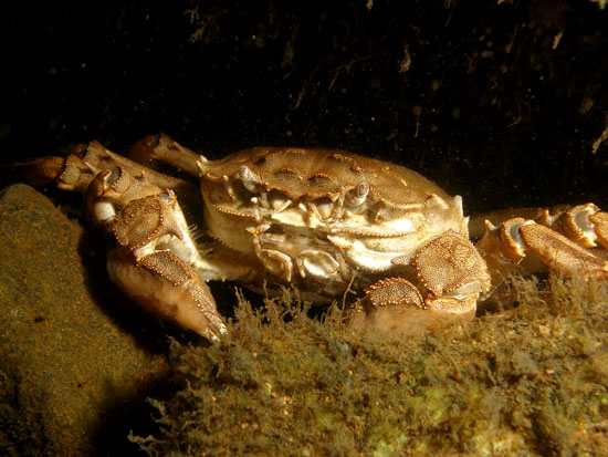 Crab close-up: The Chinese mitten crab, actually less than 10 cm across, is considered an invasive species and was first spotted in Finland in the 1930s. (Photo: Essi Keskinen/Metsähallitus)