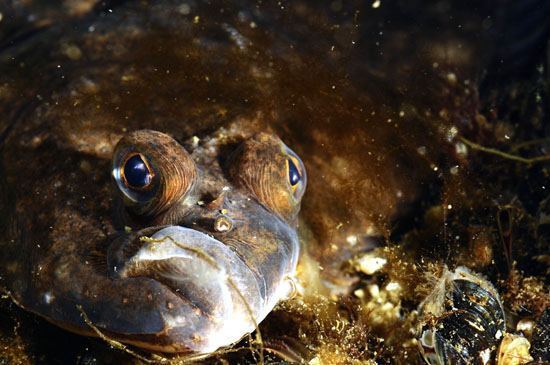 The expression on this fish's face seems to show frustration with the environmental condition of the Baltic Sea. (Photo: Mats Westerbom/Metsähallitus)