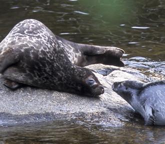 сайменская кольчатая нерпа, пресноводная нерпа, восточная Финляндия, Савонлинна, исчезающие виды, охрана природы, финские озера