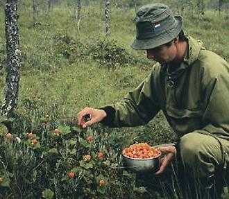 A man picking cloudberries.
