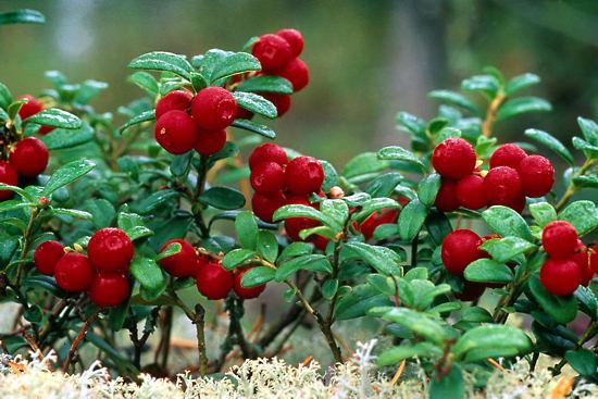 2971-berry2_b-jpg