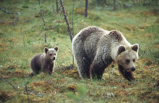 左图: © 芬兰旅游局/埃洛•凯米拉(Eero Kemilä)   右图: ©芬兰旅游局        熊(左图),猞猁,狼和狼獾等芬兰大型食肉动物的数量近年来有所增加。芬兰的国鸟疣鼻天鹅(右图)的数量自20世纪50年代末开始也越来越多了。