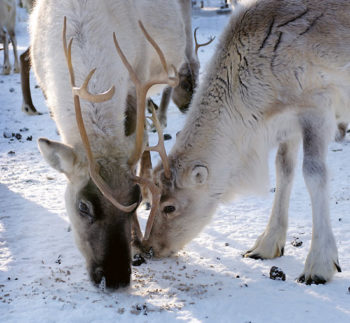 Two reindeer eating from a snowy ground.