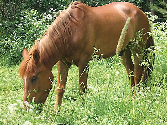 A chestnut-coloured Finnhorse eating grass.
