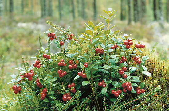 Red lingonberries growing on a shrub.