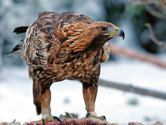 A golden eagle standing on its prey.